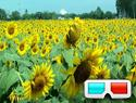 Sunflowers 3D
